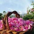 През юни 2012 година английският дерматолог Ян Вайт връчи на еврокомисията доклада за алергичното въздействие на розовото масло. 334 страници бяха посветени на проучванията анализиращи причините за алергия от парафюми, […]